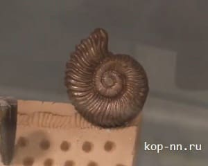 Древний окаменелый моллюск