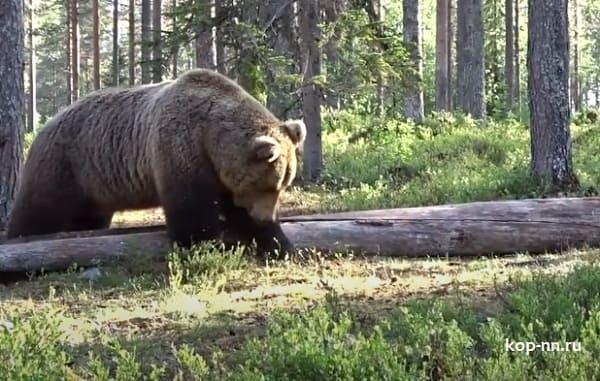 Дикий медведь в лесах нижегородской области