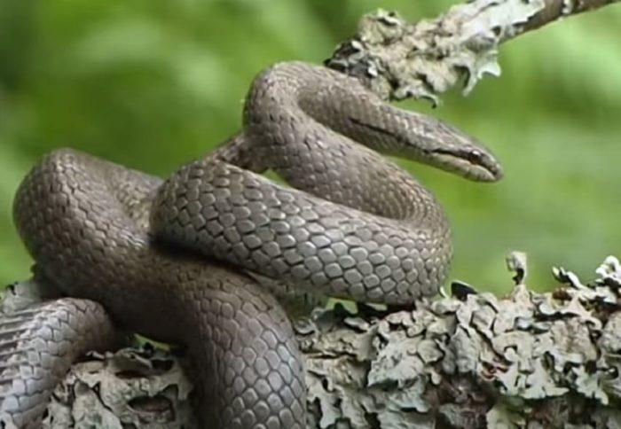 Змея в Нижегородской области