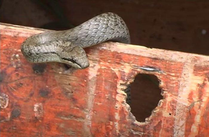 Нижегородские змеи - Медянка